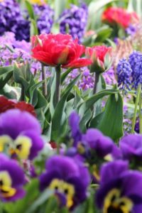 Voorjaarsbolbloemen en tweejarige viooltjes