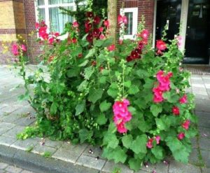 Stokroos (Foto: Guerilla Gardening)