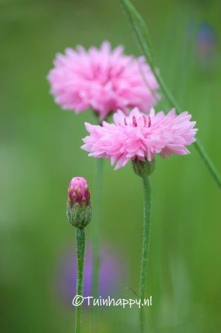 Korenbloem roze