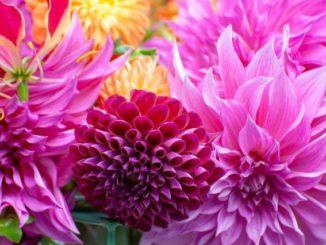 Dahlia trendy bloem